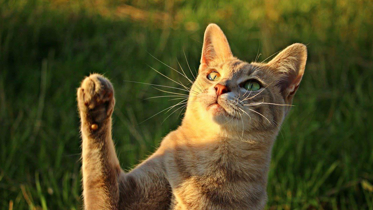 Esquizofrenia relacionada bacterias arañazos gatos, estudio