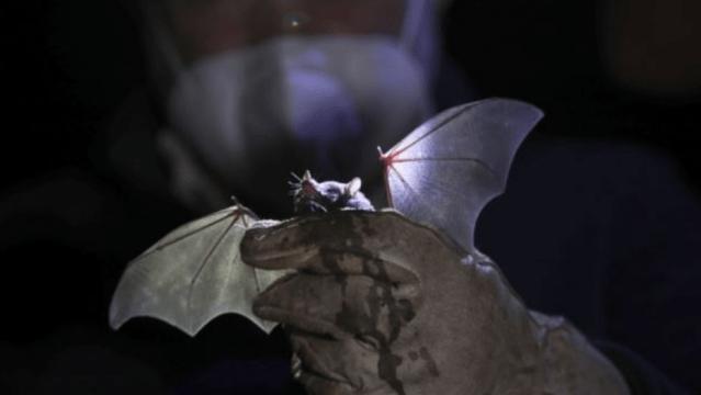 Choeronycteris, murciélago de nariz larga