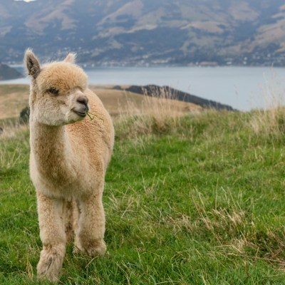 Se ve una alpaca cerca de una granja (Getty Images)
