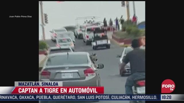 captan auto paseando a un tigre en mazatlan