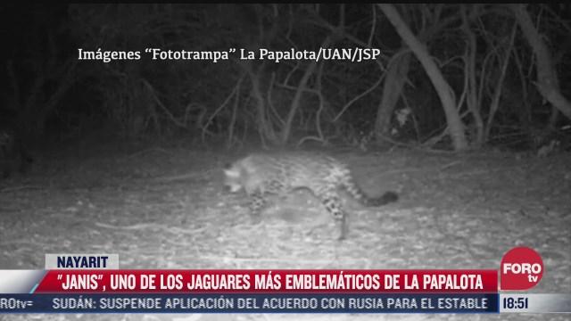 janis uno de los jaguares mas emblematicos en la papalota nayarit