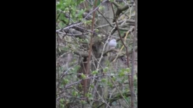 Encuentran petirrojo blanco increíblemente raro