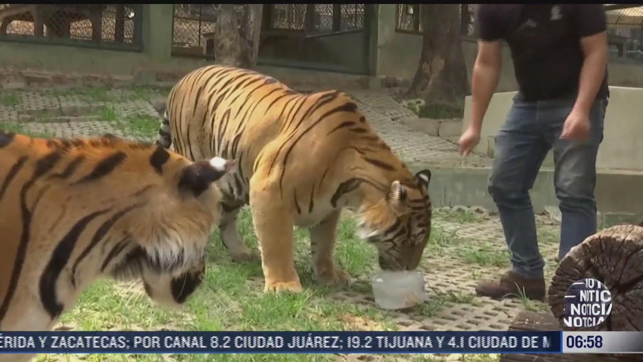 tigres disfrutan de paletas de hielo y alberca