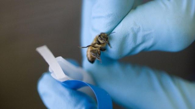 Científicos holandeses entrenan abejas para detectar COVID-19