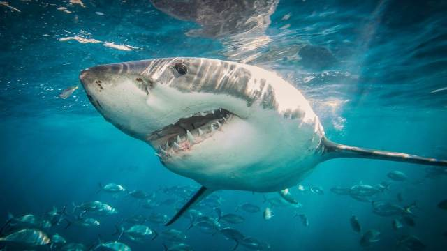 Estudio revela que tiburones usan campos magnéticos para orientarse