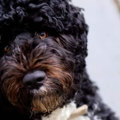 Muere 'Bo', uno de los perros de la familia Obama