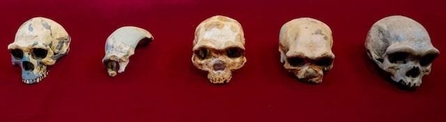 Cráneo Harbin Hombre Dragón Homo Longi