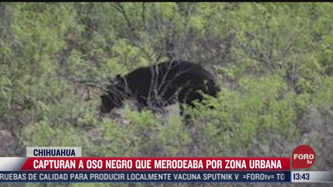 autoridades capturan a oso negro que merodeaba la ciudad en chihuahua