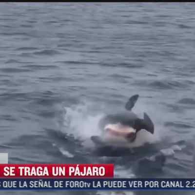 captan en video el instante en que un tiburon blanco se trago a una ave marina