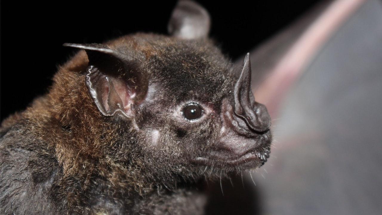 Investigadores chinos encuentran nuevos tipos coronavirus en murciélagos