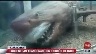 extra extra encuentran tiburon blanco abandonado
