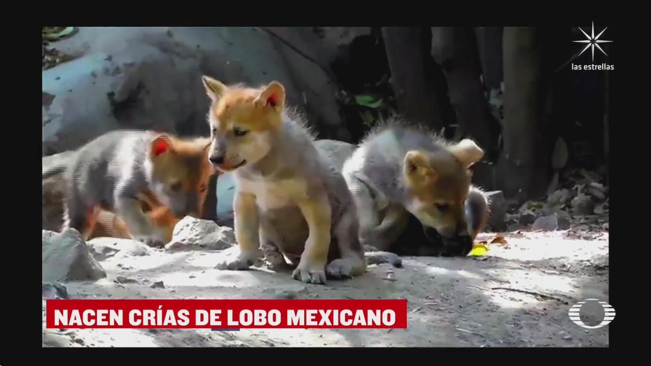 nacen cinco lobos mexicanos en el zoologico de chapultepec