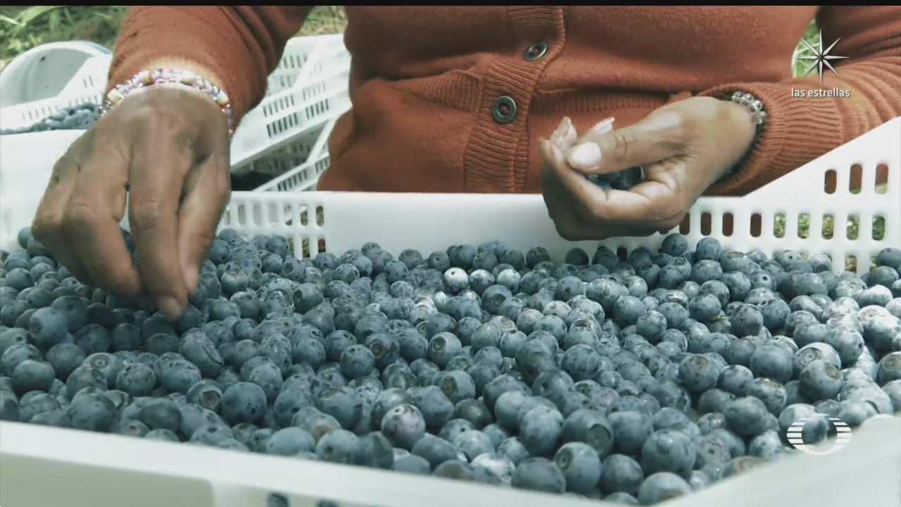 puebla principal exportador de arandanos azules