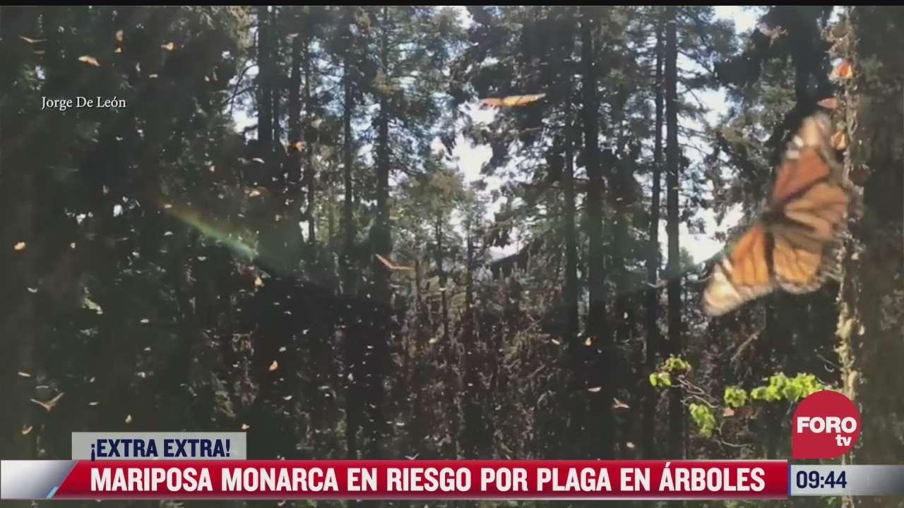 extra extra mariposa monarca en riesgo por plaga en arboles