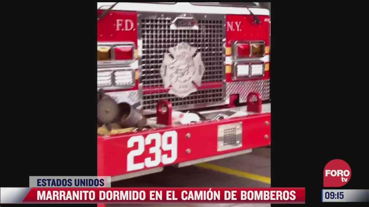 marranito se queda dormido en camion de bomberos
