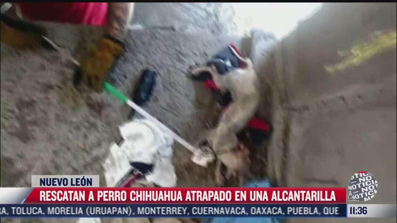 rescatan a perro chihuahua atrapado en una alcantarilla