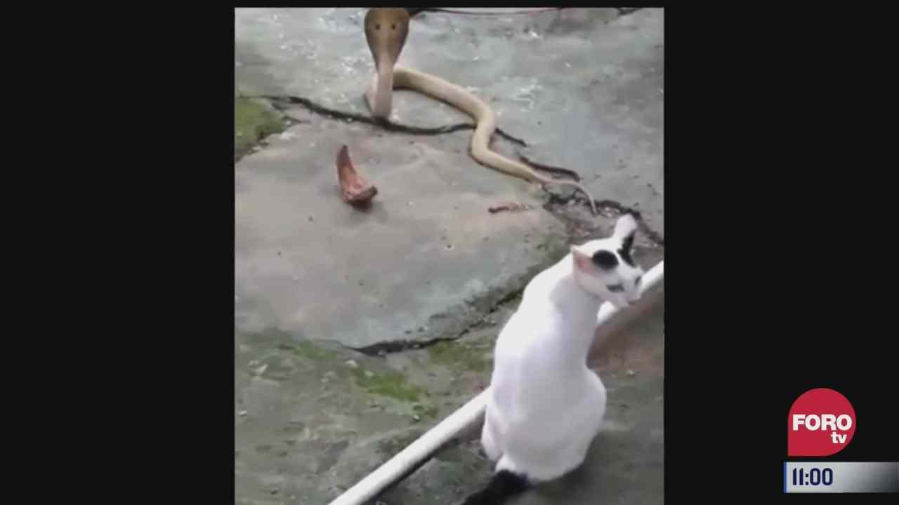 gato enfrenta a una cobra y salva a su dueno