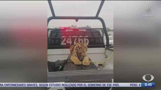 policias capturan un tigre cachorro en cuautitlan izcalli