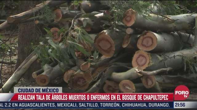 realizan tala de arboles muertos en el bosque de chapultepec