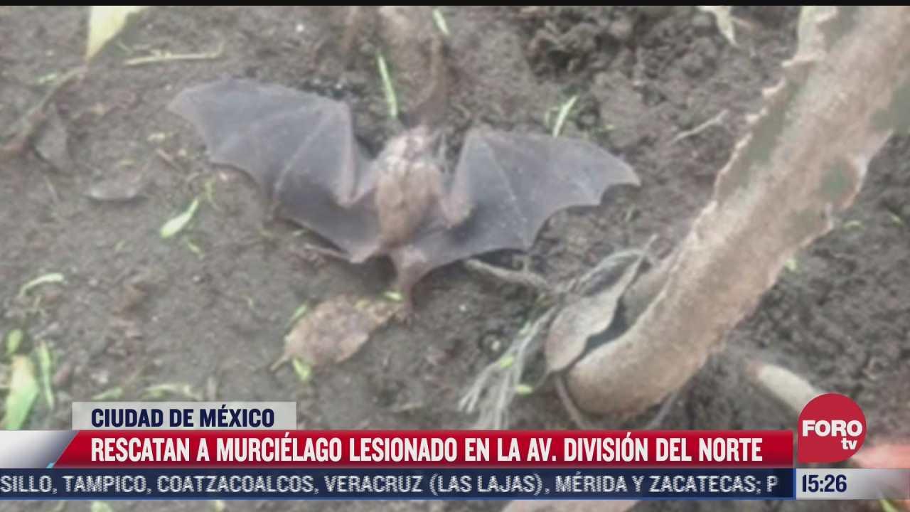 rescatan a murcielago lesionado en la ciudad de mexico