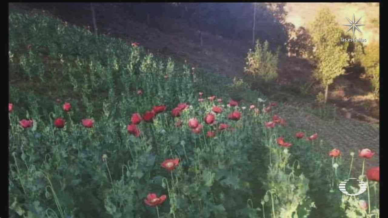 se reduce el cultivo de amapola en la zona de guerrero