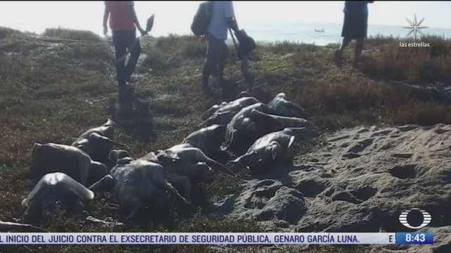 aparecen muertas mas de 300 tortugas golfinas en playas de oaxaca