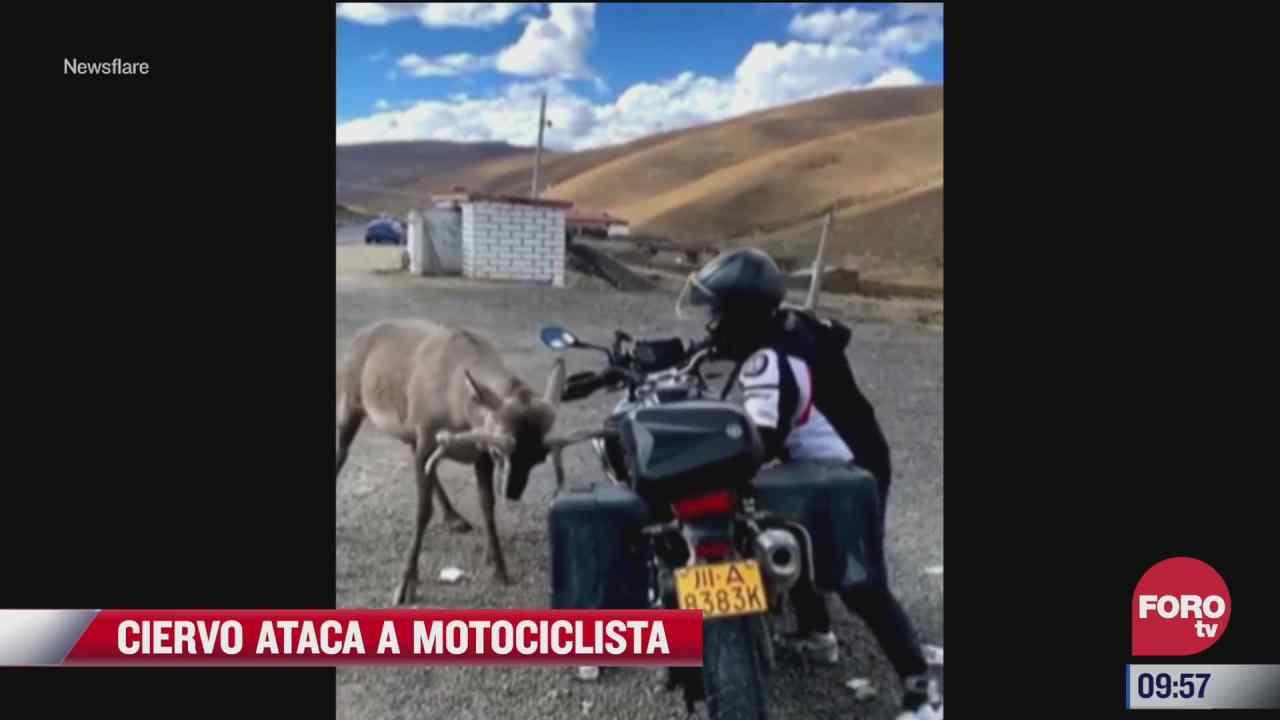 ciervo ataca a motociclista sobre la carretera