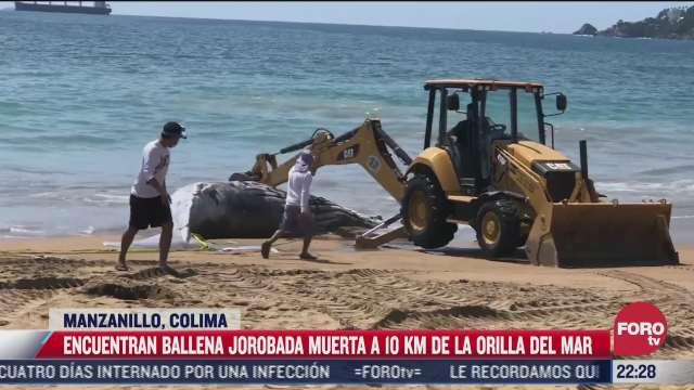 encuentran ballena jorobada muerta en manzanillo colima