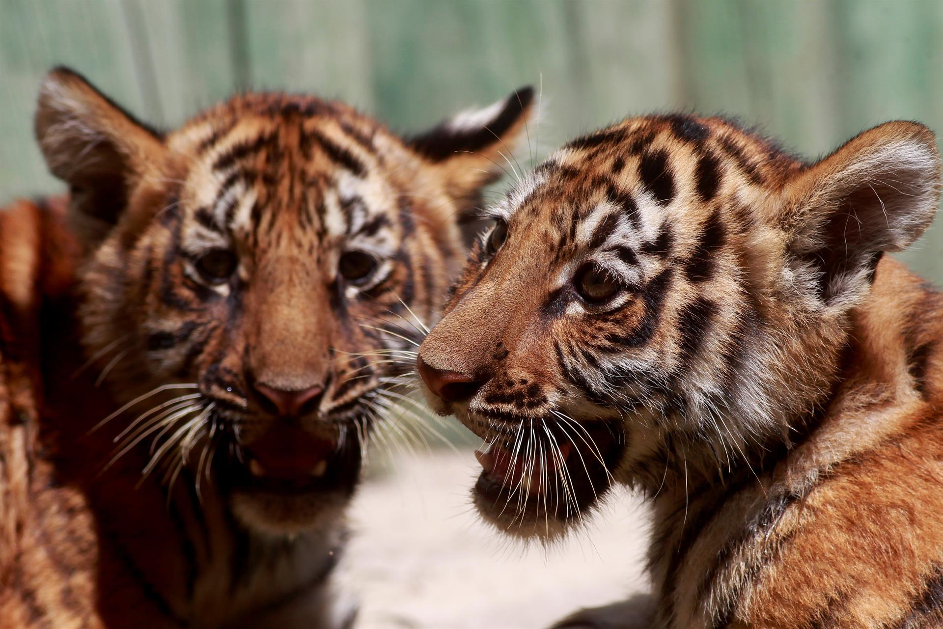 Cachorros de tigre de bengala deleitan a visitantes del zoológico de Guadalajara