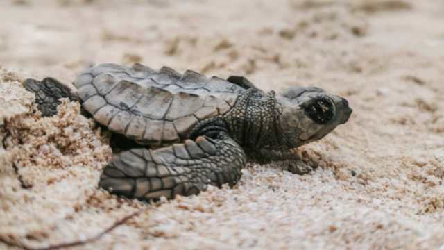 Población de tortugas marinas se recupera en Yucatán
