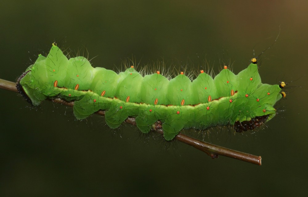 indian moon moth caterpillar