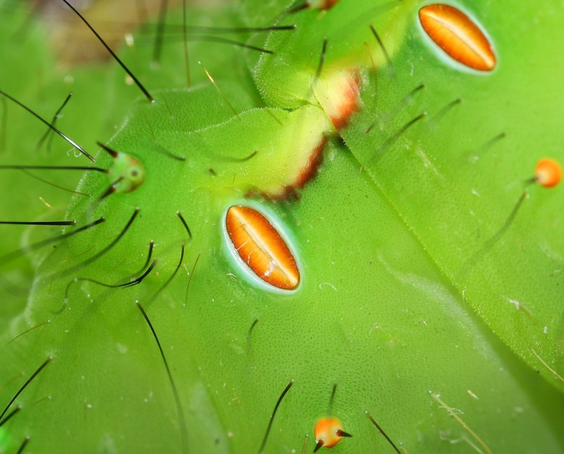 indian moon moth spiracles