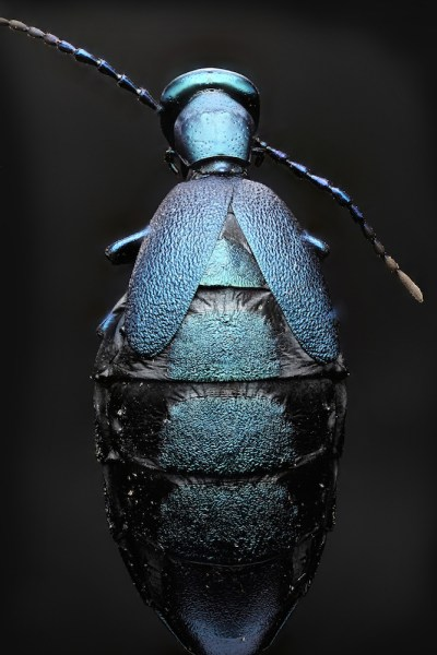 blister beetle back