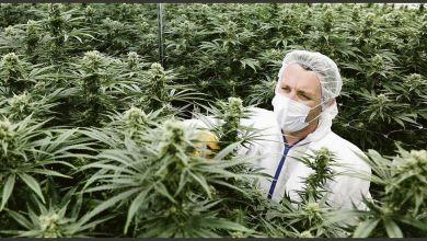 Photo of El Gobierno legalizó el autocultivo de cannabis