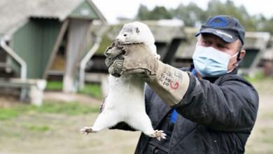 Photo of Sacrificarán millones de animales por un coronavirus mutante