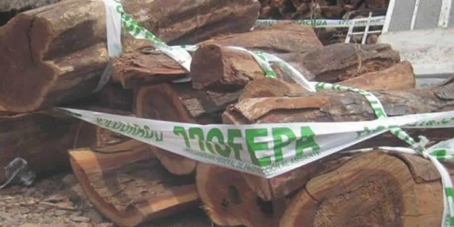 En lo que va del año suman 130 ejemplares y más 85 metros cúbicos de madera decomisados por la Profepa