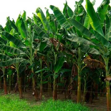 En las próximas horas productores de plátano despedirán a mil jornaleros en la frontera sur, de seguir el bloqueo en el puente internacional