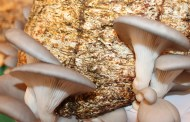 SS pide extremar precauciones al consumir hongos silvestres