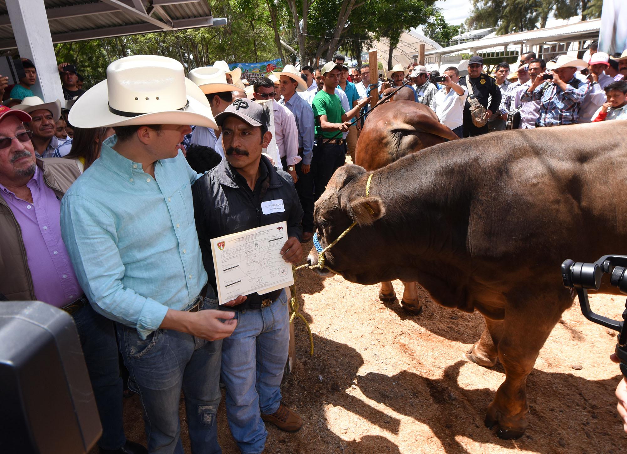 Entregan 100 sementales bovinos a pequeños ganaderos