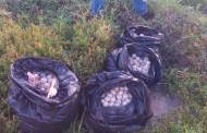 Rescata Fiscalía Ambiental más de cuatro mil huevos de tortuga