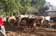 Recupera Fiscalía de Abigeato 63  cabezas de ganado en Pijijiapan
