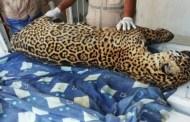 Localizan el cadáver de jaguar cazado en Veracruz