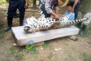 Cazan a jaguar en Veracruz y presumen las fotos en redes