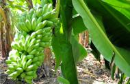 Productores de plátano de la región soconusco realizan un recorrido por la ruta bananera con diputados y senadores, para que conozcan la importancia en este sector