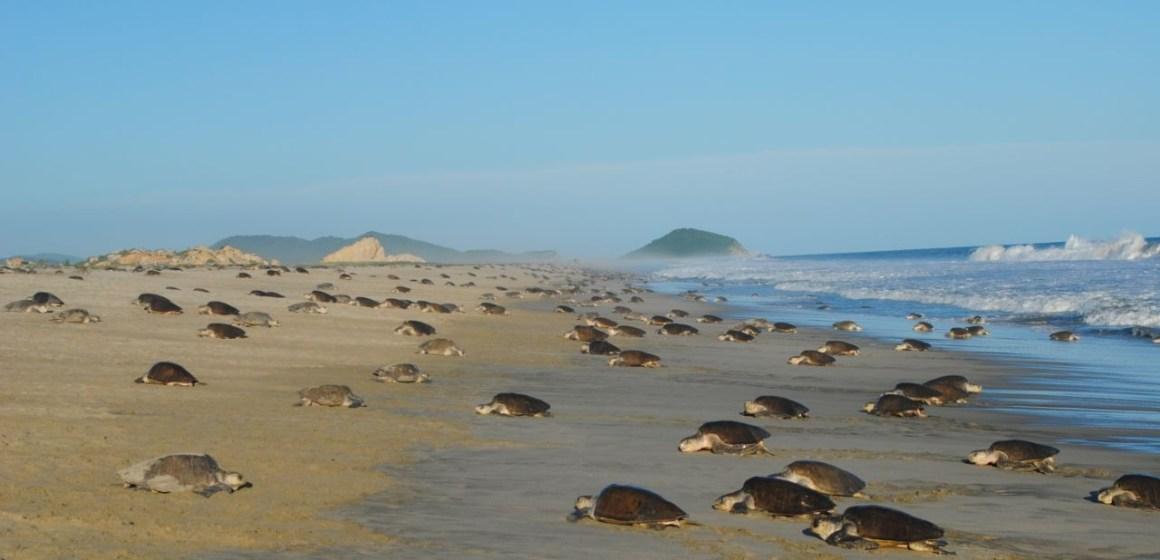 Arriba tortuga Golfina a las playas de Oaxaca: CONANP