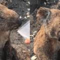 Incendios en Australia dejan 350 koalas muertos y su hábitat destruido