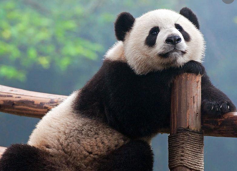 Osos panda de Chengdú