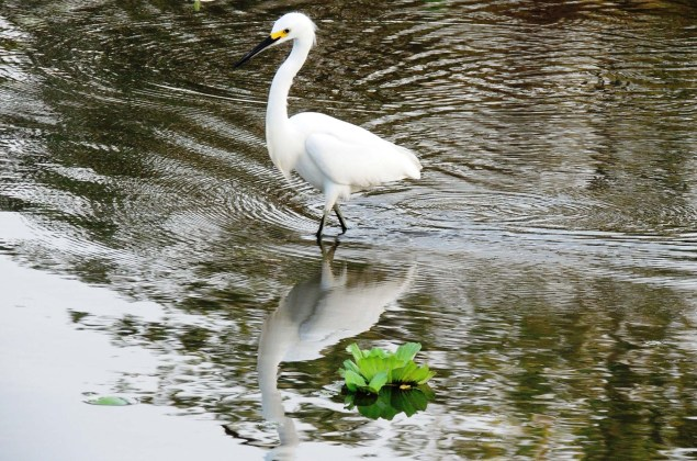 garza blanca aves