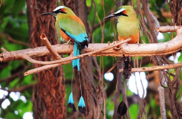 guardabarrancos aves
