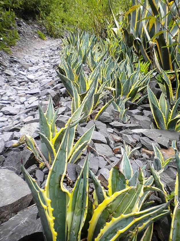 """A los costados de las sendas o barrancos, se pueden ver los agaves sudamericanos o """"pitas""""."""